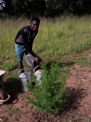 Pflanzen gießen ist eine durchaus anstrengende, aber sehr wichtige Haupt- und Handarbeit. Hier eine Artemisia-Pflanze, die auf der Farm als Arzneipflanzen angebaut werden.