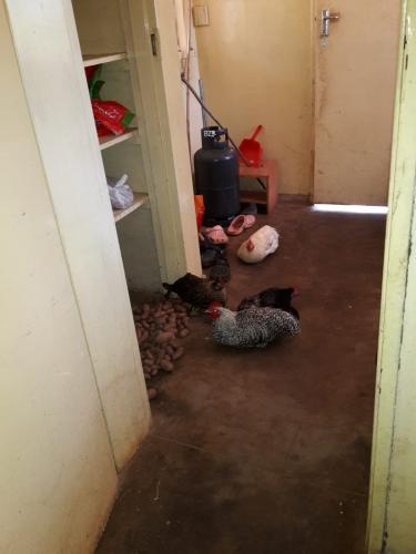 Diese vier Hühner wanderten für die Verpflegung bei einem großen Teaching leider in den Kochtopf ...