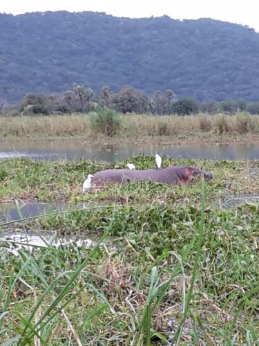 Auch hier sieht man wieder die Kuhreiher auf den Tieren hocken und picken.